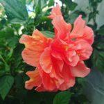 """<span class=""""title"""">お庭花🌺✨🌴atelier345 tropical handmade workshop garden🌴✨おはようございます☀️😃❗晴れ☀️今日は Pastel Orange W Hawaiian です🥰 ビタミンハイビスカス🌺で皆さん❗Vitamin Charge を🤩お ..</span>"""