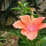 """<span class=""""title"""">お庭花🌺✨🌴atelier345 tropical handmade workshop garden🌴✨おはようございます☀️😃❗Vitamin Color Hawaiian 🌺 くもり☁️かなぁ?今年も後少しです🙃来年には コロナも収まります様に💪 リアルバイオハザード ..</span>"""