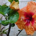 """<span class=""""title"""">お庭花🌺✨🌴atelier345 tropical handmade workshop garden🌴✨おはようございます☀️😃❗Vitamin Color W Hawaiian 🌺めちゃめちゃ寒い(11度)😱南国の身体にはきつい🤢昨日は風も強くミニ台風🌀並み…皆さん❗今 ..</span>"""