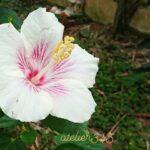 """<span class=""""title"""">お庭花🌺✨🌴atelier345 tropical handmade workshop garden🌴✨おはようございます☀️😃❗謹賀新年🎍おめでとうございます🙇今年もよろしくお願いいたします🤩 お気に入りの🌺 Red & White Hawaiian で🎉 Happy  ..</span>"""