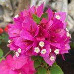 "<span class=""title"">※ ※ ブーゲンビリア💗💗💗 真ん中の白いのがお花?😆 かなぁ🤔  💗💗💗💗💗💗💞💖 #ブーゲンビリア #ピンクチャージ #pink  #okinawa #由布島 #離島 #水牛車 #のんびり旅 #亜熱帯植物楽園  #ブーゲンヒ ..</span>"
