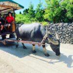 """<span class=""""title"""">Huge horns! #okinawa #okinawajapan #okinawa_love #okinawalife #okinawa🌺 #taketomi #taketomiisland #taketomijima #waterbuffalo #yaeyama  ..</span>"""