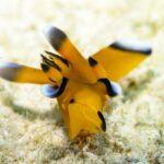 "<span class=""title"">Full size Pikachu nudibrach- Thecacera pacifica. #nudibranch #nudi #pikachu #seaslugs #seaslug #macrophotography #macro #uwmacro #uwmacr ..</span>"