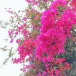 """<span class=""""title"""">. . 沖縄では比較的年中見られる ブーゲンビリア𓂃𑁍⠑✳︎⋆ . . でもなぜか今年は 特別色鮮やかに見える . . . いつ見ても心奪われる 大好きな花 ⠔❊ . . . . . . #ブーゲンビリア #ブーゲンビレア #沖縄ブーゲンビリア #pink #ピンク # ..</span>"""