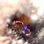 "<span class=""title"">#バイオレットボクサーシュリンプ #kikidivingclub  #沖縄ダイビング #沖縄本島 #沖縄 #diving #スキューバ #scuba #scubadiving #マクロ #macro #Underwater #underwaterworld #under ..</span>"