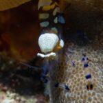 "<span class=""title"">Backlog: Peacock anemone shrimp aka clown anemone fish. Transparent in appearance. #peacockanemoneshrimp #clownanemoneshrimp #anemoneshr ..</span>"