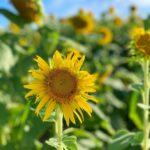 "<span class=""title"">よく見るとハチがいるよ🐝  #沖縄 #宮古島 #離島 #移住 #旅行 #ひまわり #ひまわり畑 #向日葵 #自然 #景色 #夏 #観光 #okinawa #miyako #island #trip #travel #sunflower #nature #summer # ..</span>"
