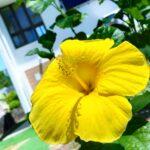 """<span class=""""title"""">久しぶりにハイビスカス投稿📷♥  職場の庭に植えたら 見事に咲きました🌺  植えてすぐに台風きて 吹っ飛ぶと思いきや さすが南国の植物👏  #沖縄 #沖縄旅行 #沖縄観光 #沖縄好きな人と繋がりたい #沖縄の海 #沖縄のビーチ #沖縄ライフ #okin ..</span>"""