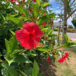 """<span class=""""title"""">🌺  #okinawa #ishigakiisland #ishigaki #intercontinentalhotel #resort #bechresort #maesatobeach #genic_flower #tabijyo_hotel #tabijyomap ..</span>"""