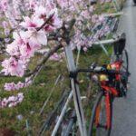 "<span class=""title"">愛車と桃の花🍑 パートⅡ  #紀ノ川 #桃 #桃の花 #桃源郷 #あら川の桃 #桃源郷フォトコン2021 #insta_wakayama #とろ和歌 #サイクリング #ロードバイク #roadbike #自転車 #チャリでブー #lapierre # .. #ロードバイクJP</span>"